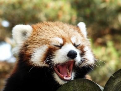 あくびをするレッサーパンダ